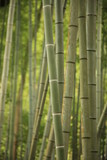 bamboo grove in Kyoto poster
