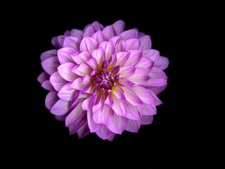 Dahlia in Purple