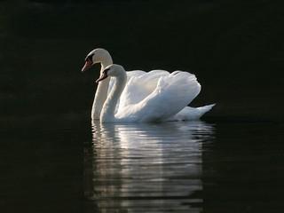 a couple af swans