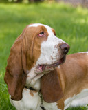 dog of breed brasilian baset-haund on walk poster