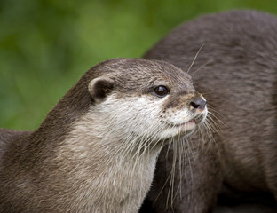 An otter standing and staring into the distance