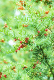Common yew red seed poster