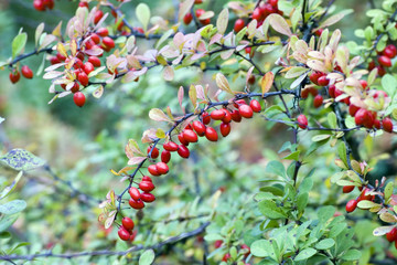 cornelian cherries on branch
