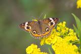 Common Buckeye Butterfly (Junonia coenia) poster