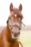 dark orange arabian stallion head poster