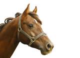 dark orange arabian stallion head isolated on white poster