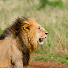 lion's head, masai mara, kenya