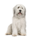 Fototapety Sheepdog (15 moths) in front of a white background