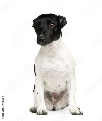 Bastard (8 years) in front of a white background