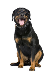 rottweiler (5 years) in front of a white background