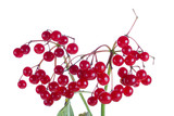 close-up branch of snowball tree with berries, isolated on white poster