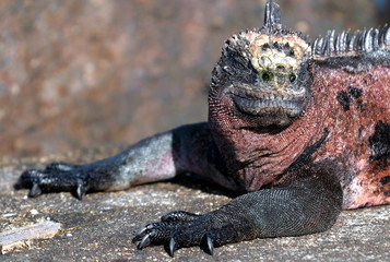 Hier regiere ICH -Galapagos Meerechse aud Isla Florena