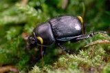 Dor Beetle closeup wildlife shot poster