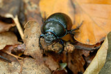 Dor Beetle on autumn foliage, wildlife shot poster