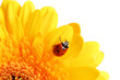 coccinelle et fleur
