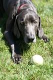 dog playhing with ball dark grey blue weimaraner poster