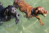 vizsla dog and weimaraner swimming poster