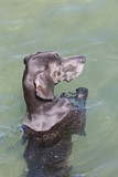 blue weimaraner dog standing in water poster