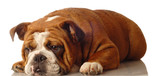 red brindle english bulldog - champion bloodlines poster