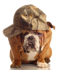 english bulldog wearing hunting cap and silly expression