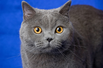 british blue cat on deep-blue background