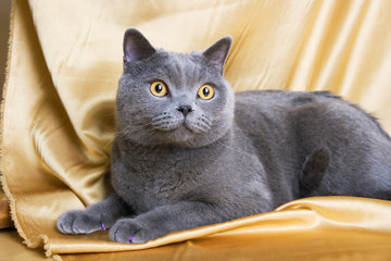 british blue cat on yellow background