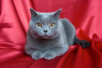 british blue cat on red background