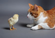 Golden chick and a cat standing face to face