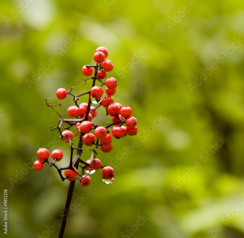 Holly or Pyracantha berries wet with dew on a green background