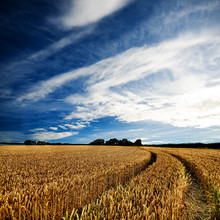 Dramatic sky over a golden wheatfield