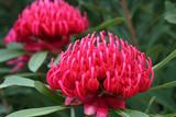 Brilliant pink waratah - Telopea Speciosissima poster