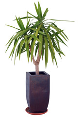 Yucca isolated with clipping path..