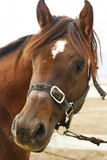 arabian horse head closeup poster