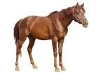 arabian horse isolated on white stnading poster