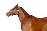 dark orange arabian horse isolated on white poster
