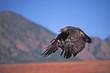 Golden eagle in flight. Photographed in Colorado
