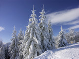 Spruce trees under thick snow cover in the mountains poster
