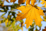 Sunlight on leaves of the maple. Blur background.