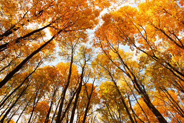 Looking up. Cupola of orange leaves. Sunlight.