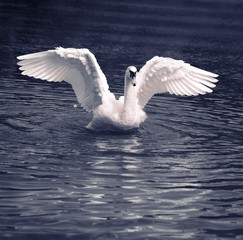 White swan is standing in shallow water