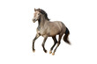 isolated galloping horse