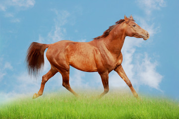 Arabian chestnut stallion running on field