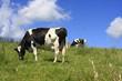vaches d' auvergne