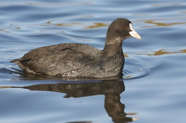 Common Coot.