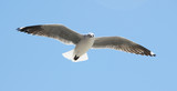 Picture of a Sea Gull hovering in the air poster