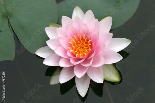 Leinwanddruck Bild Seerose, Lotus