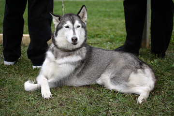 Female husky crossing its paws and waiting patiently