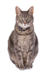 Obese cat due to castration. Domestic animal health issues..