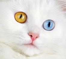Portret barwny oczy biały kot ...