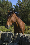 Close up of stallion in Peak District National Park poster